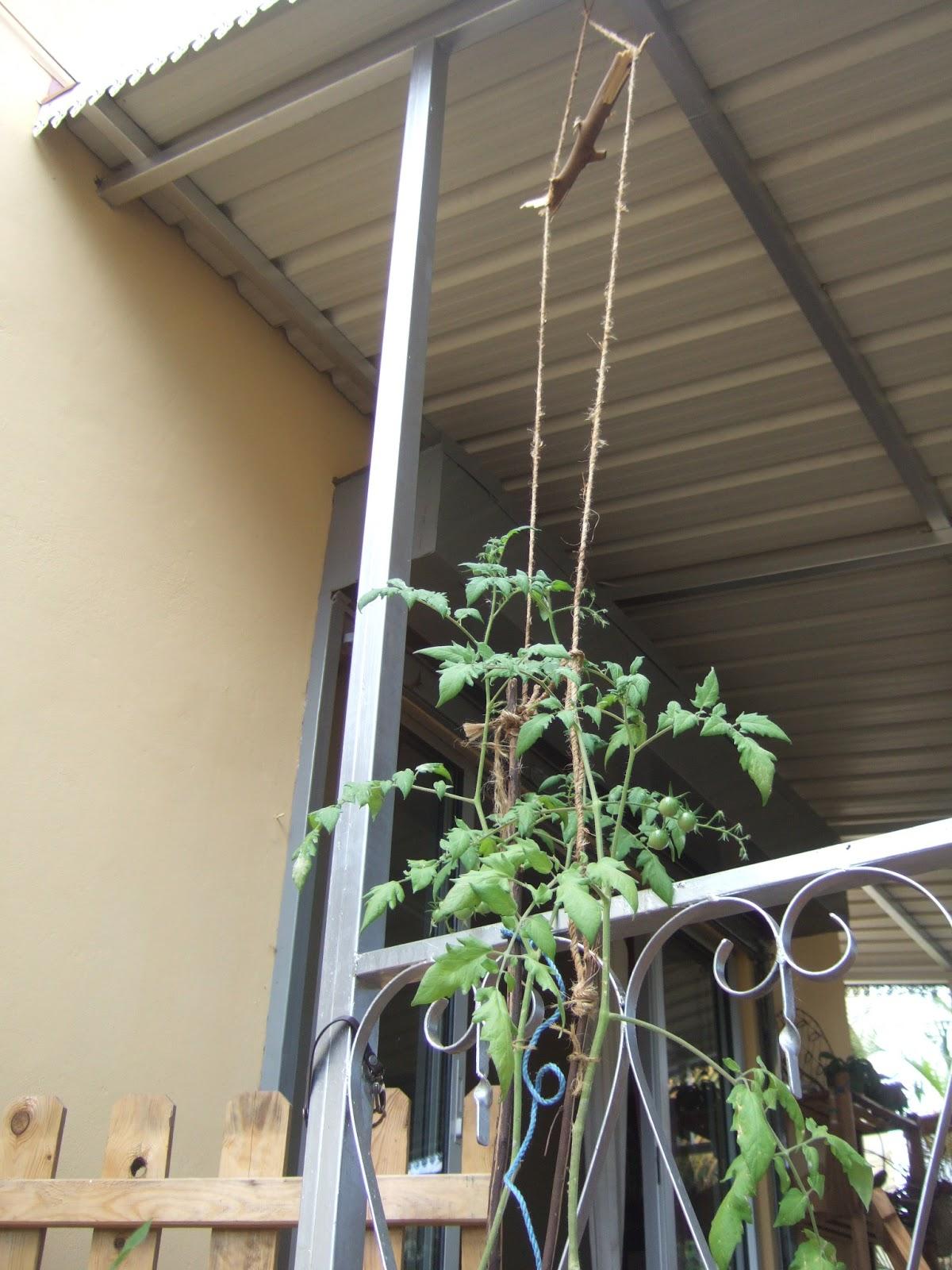 Potagers en libert l 39 le maurice le coin potager dont - Arrosage basilic en pot ...
