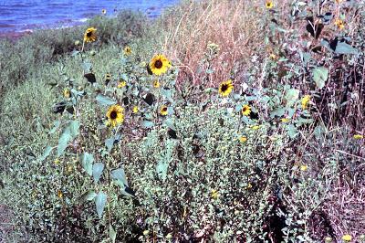 wild sunflowers, Helianthus annuus by the roadside,  Ogallala Nebraska