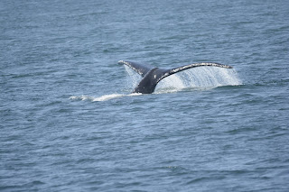 Dall's Porpoise come over and a Humpback whale shows its flukes.