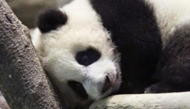Dapat pampasan RM308 000 kerana digigit panda