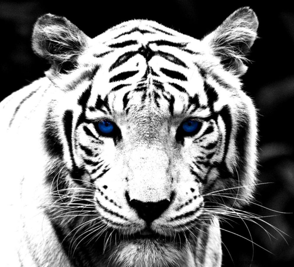 White Tiger With Blue ...