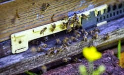 Bijenvolk mijn detectie