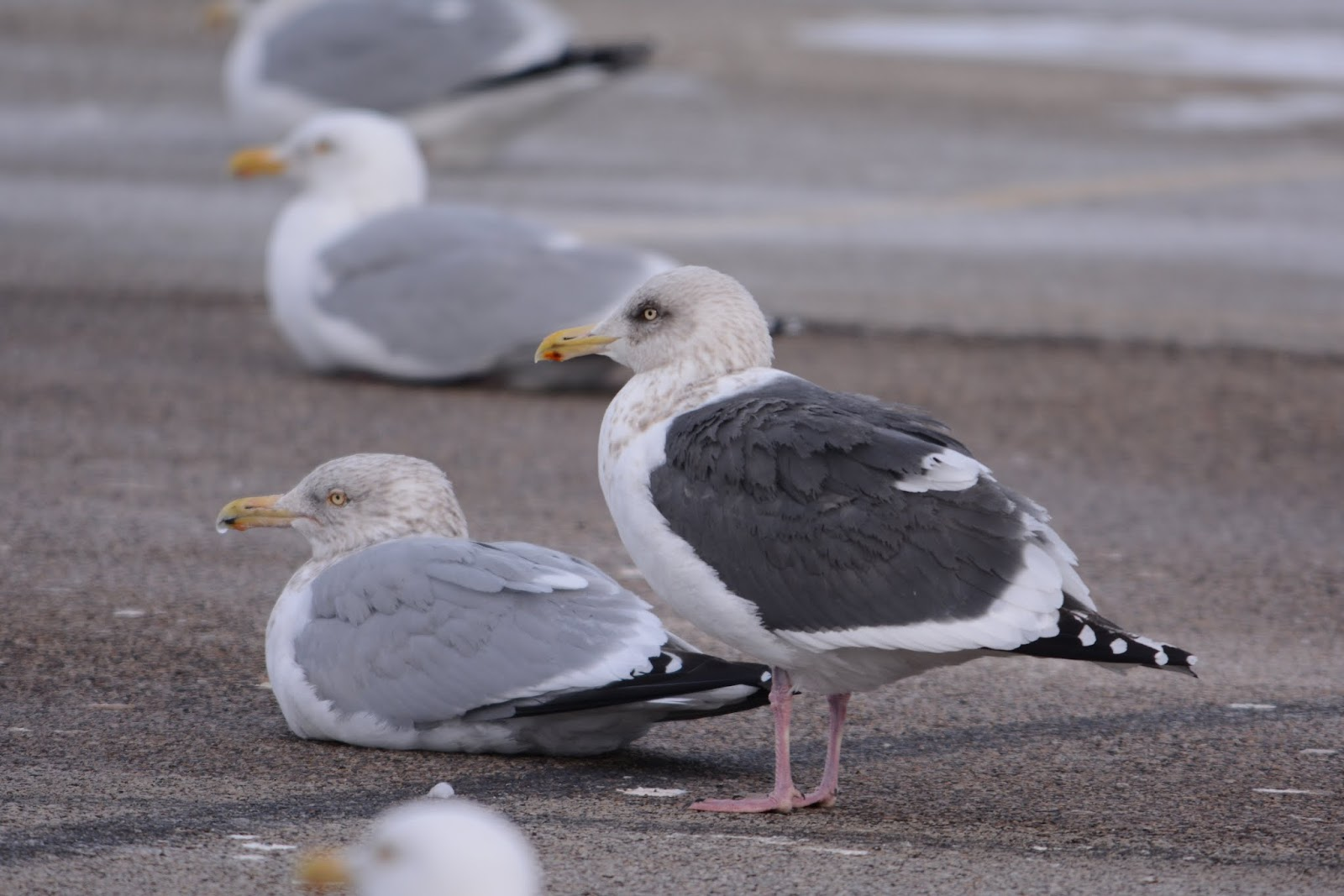 Slaty-backed gull - Wikipedia