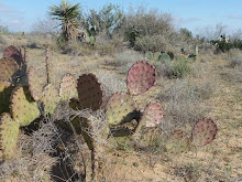 Five types of prickly pear