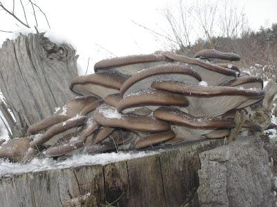 Grzyby zimowe, grzybobranie w zimie, grzyby pod śniegiem, grzyby mrożone, boczniak ostrygowaty, Pleurotus ostreatus