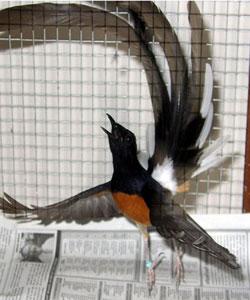 tentang burung fasilitas sarang murai batu borneo dan m