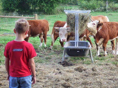 Why We Have Mini Herefords, shared by 4 Wiley Farm