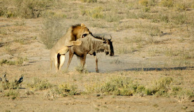 latest videos of lion hunting wildbeest habitat