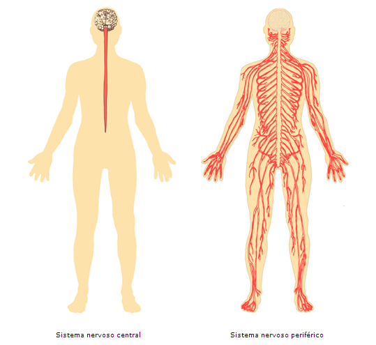 Visão separada do sistema nervoso central e periférico