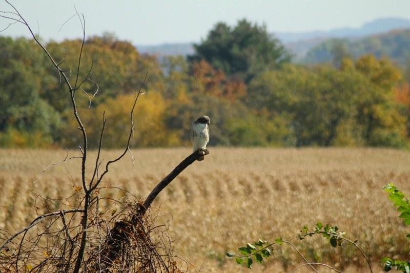 red-tailed hawk surveys Litengård