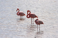 Flamingos in Salt Water Lagoon on Floreana, Galapagos Islands