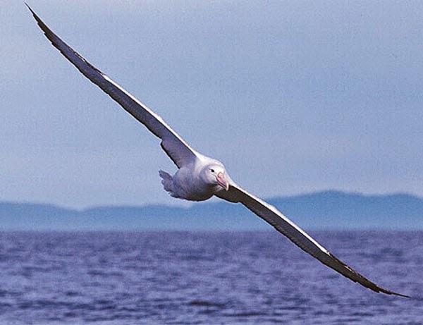 burung dengan sayap terpanjang didunia