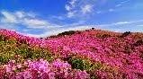 เทศกาลชมดอก Azalea ที่เมืองฮาปชอน