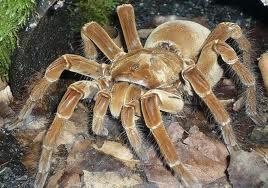 Biggest-Spider-in-the-World-5
