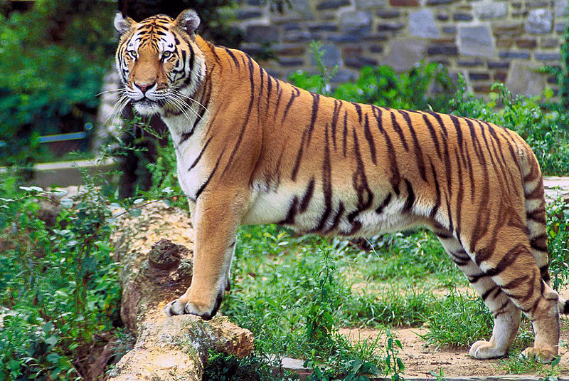 Like Many Other Animals In This Series Tigers Have Lost Much Of Their Habitat And Are Now Endangered Even Since The 1990s Tiger Has 40 Percent