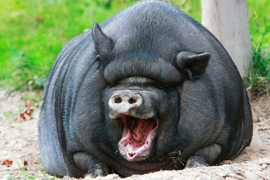 Funny animals of the week - 28 February 2014 (40 pics), huge pig yawning