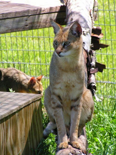 TOP 5 LARGE DOMESTIC CAT BREEDS