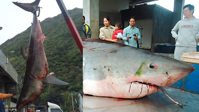 largest shark ever caught - photo #27