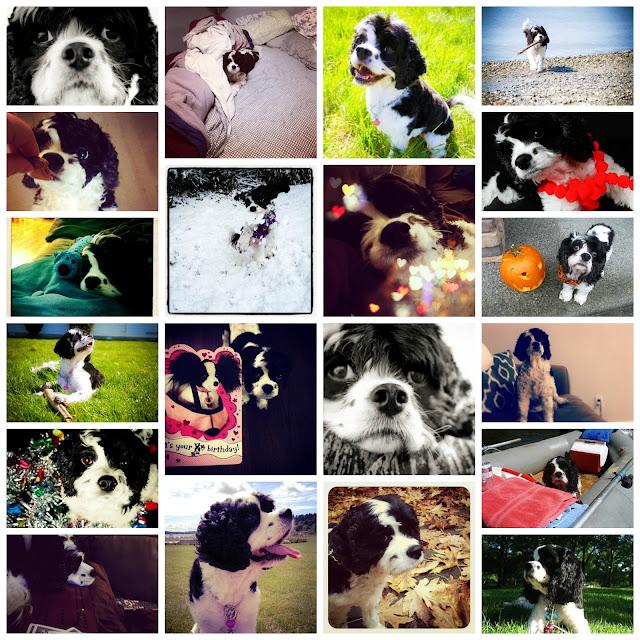 Stella the dog - a spaniel mix