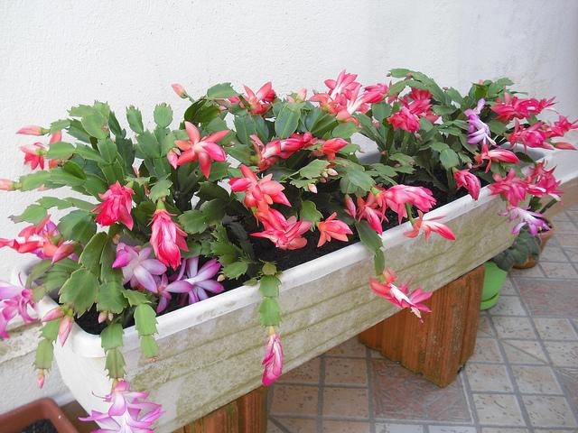 floresdemaio, cactácea que encanta pelo formato exótico e cores em