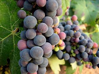 A primeira citação de uvas na Bíblia Gn 9 com Noé.