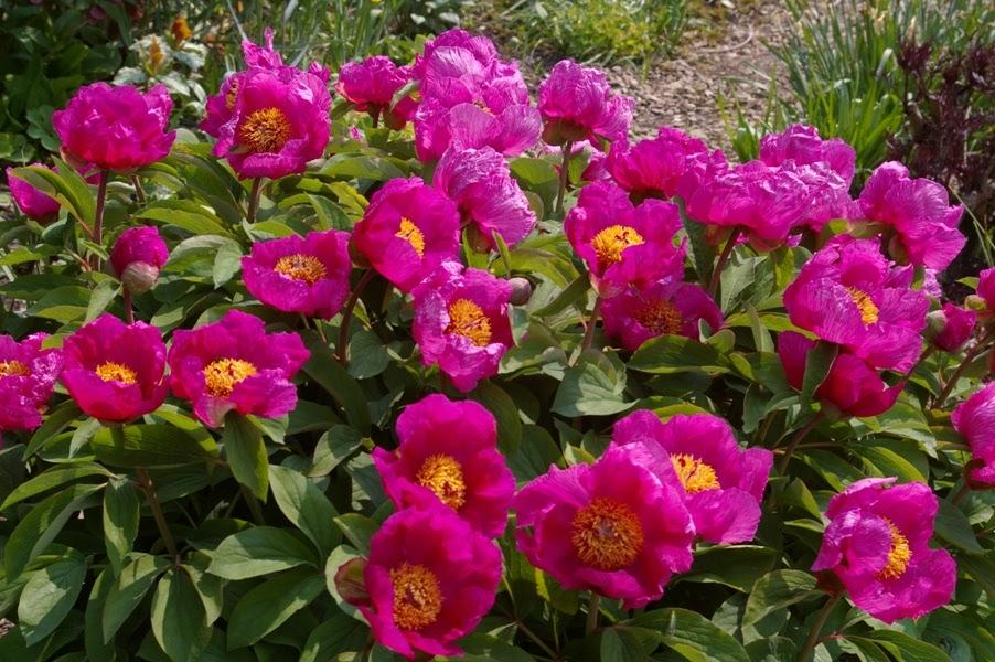 John grimshaw 39 s garden diary paeonia 39 aurelia 39 for Arreda garden aurelia