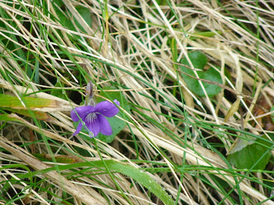 Common Dog Violet (Viola riviniana)