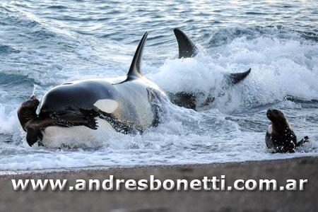 Punta Norte - Orcas de Península Valdés - Killer Whale of Península Valdés - Patagonia - Andrés Bonetti