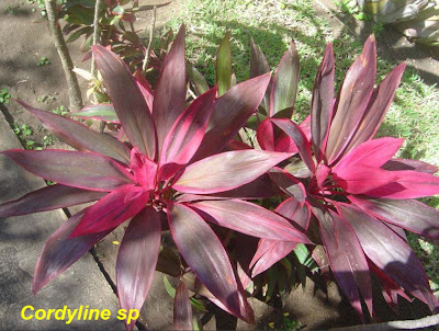 ������� ������� �������� ����� Cordyline sp.jpg