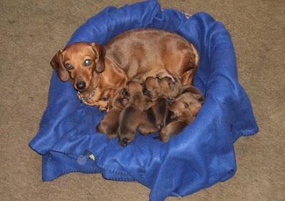 perros salchichas recien nacidos