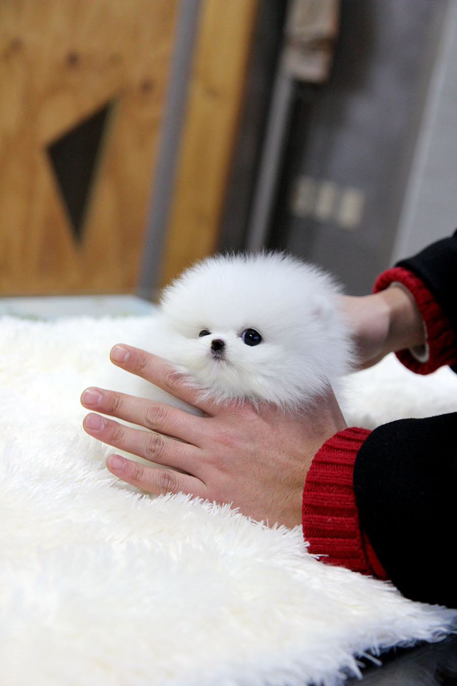 TEACUP PUPPY: ☆Teacup puppy for sale☆ White teacup pomeranian Addel :)