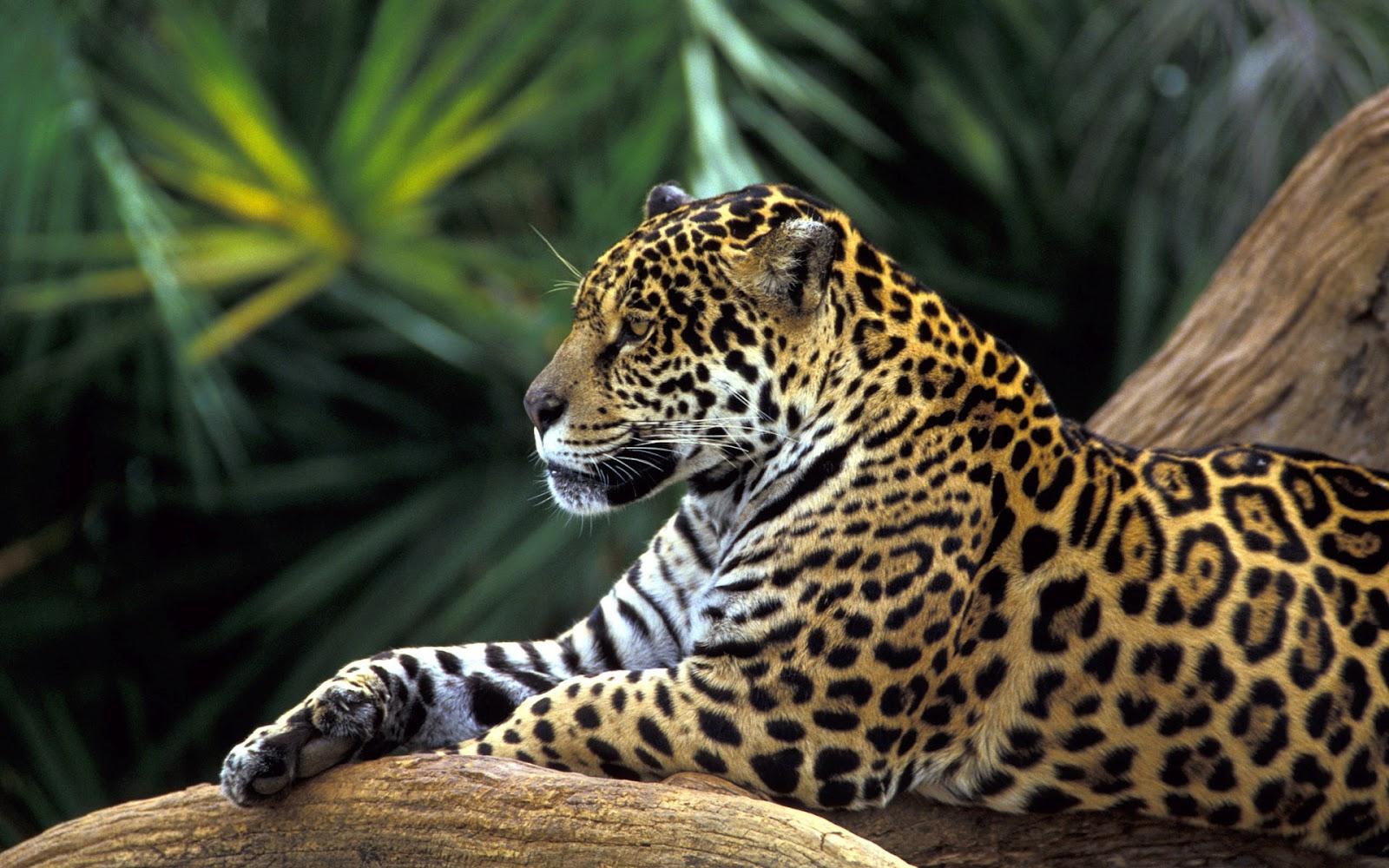 http://3.bp.blogspot.com/-kzcH_1AAtVk/T1Ose6nRXxI/AAAAAAAAAkU/kVAvVgEC8C8/s1600/jaguar-wallpapers.jpg