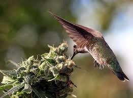 aves que comem maconha
