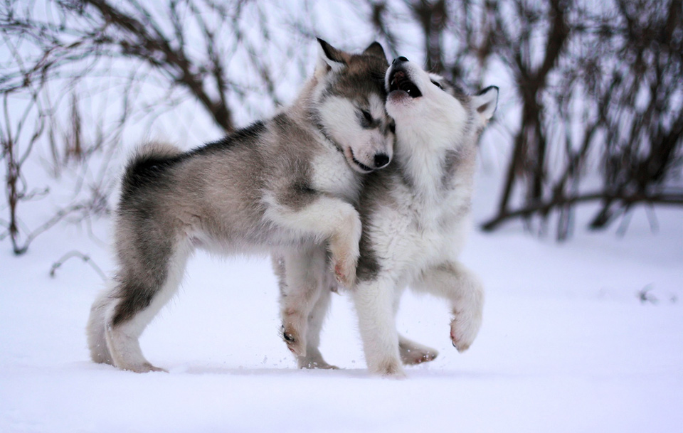 Cute Wolf Husky Puppies Wallpaper Download