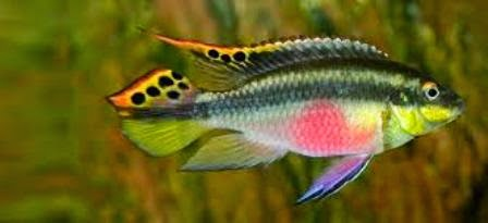 Colorful freshwater community fish kribensis fish for Colorful freshwater aquarium fish