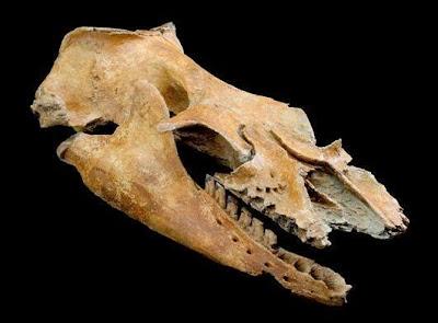 craneo de Mammalodon