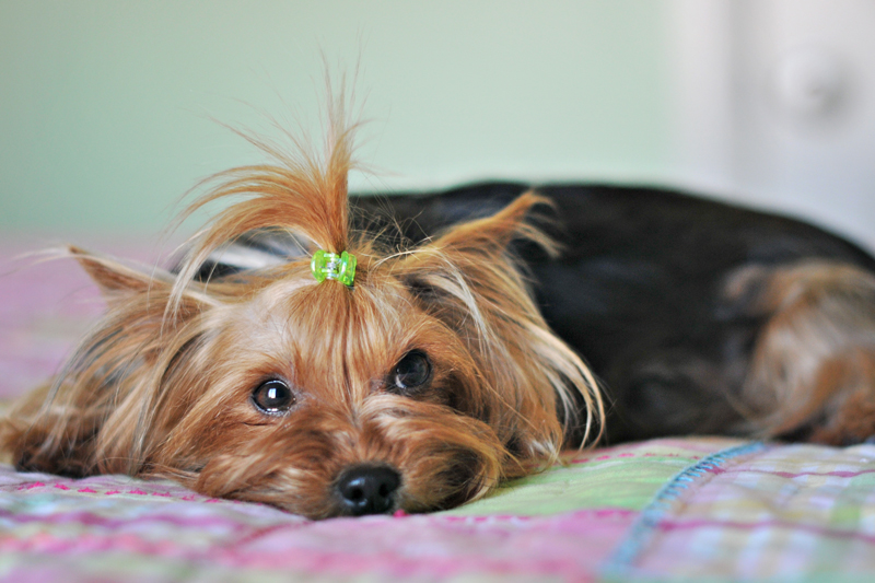 AKC STANDARD AND PARTI COLORED YORKIES FOR SALE