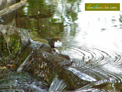 mirlo acuatico posado en una piedra del rio