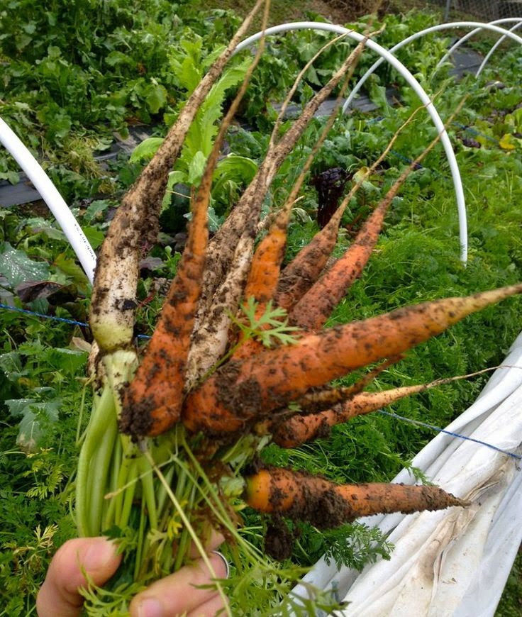 Best soil for carrots to grow in organic gardening 101 for Organic top soil