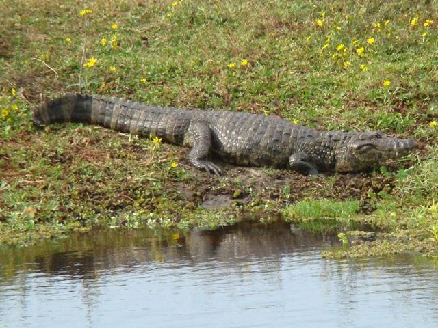 Crocodilios vivientes (y 2)