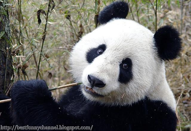 Panda meals.