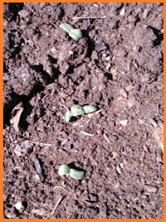 A line of cucumber sprouts bursting out from the black soil.