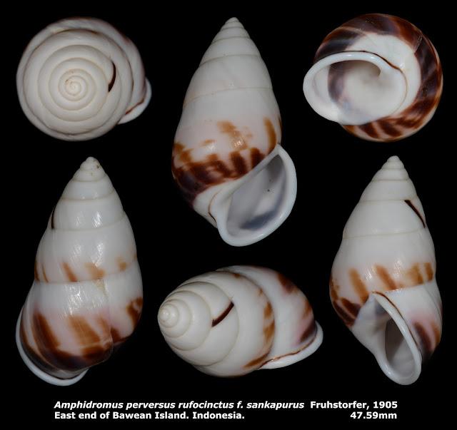 Amphidromus perversus rufocinctus f. sankapurus 47.59mm