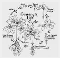 ginseng life cycle