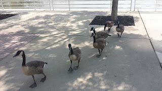 Changed Migratory Behavior of Candaian Geese
