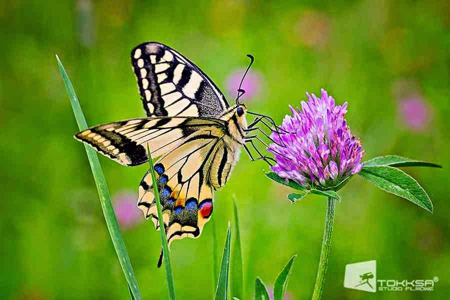 http://czuwaj.eu/przyrodoznawstwo/gatunki-chronione/zwierzeta/owady/paz-krolowej