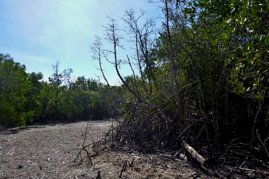 Dead mangroves on creek margin