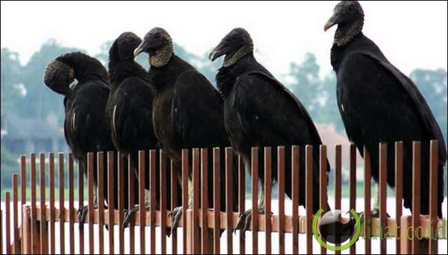 Vulture Hitam