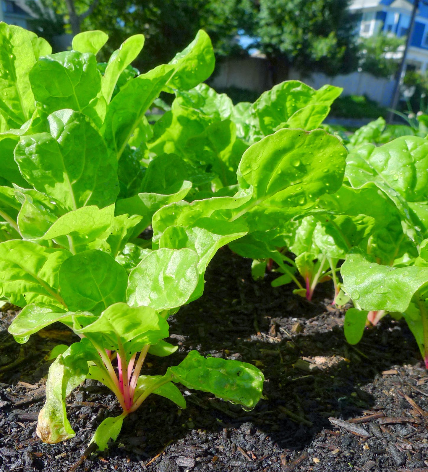 Peppermint Swiss Chard, including vegetables in an edible landscape