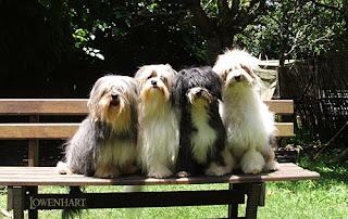 Anakan Anjing Lowchen